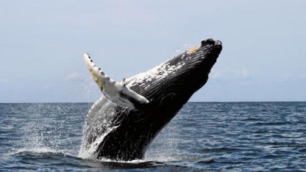 Balena cu cocoasa, Foto: goodwall.org
