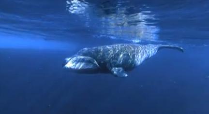 Balena de Groenlanda (Balaena mysticetus)