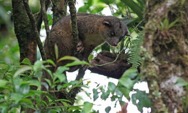 Oligo cu coadă stufoasă, specia Bassaricyon gabbii, Foto: imgarcade.com