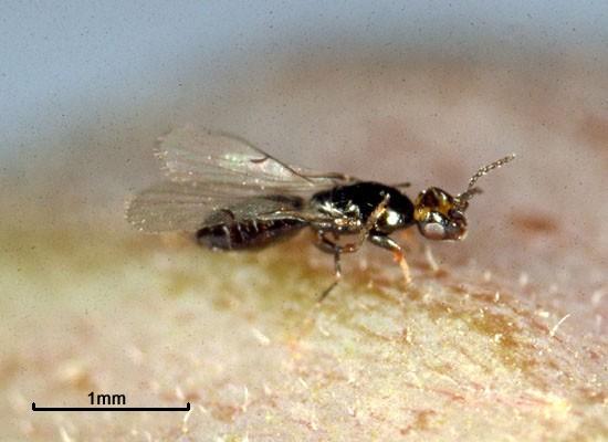 Specia Blastophaga Psenes, Foto Jean-Yves