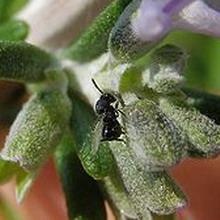 Viespea semințelor de trifoi , Foto udec.ru