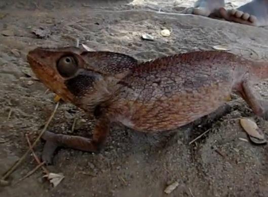 Cameleonul lui Oustalet (Furcifer oustaleti)