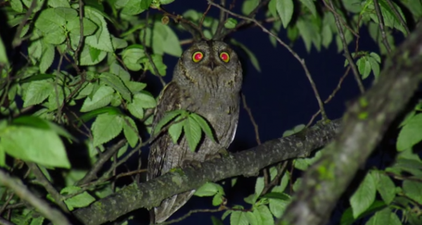 Ciuful pitic, Specia Otus scops
