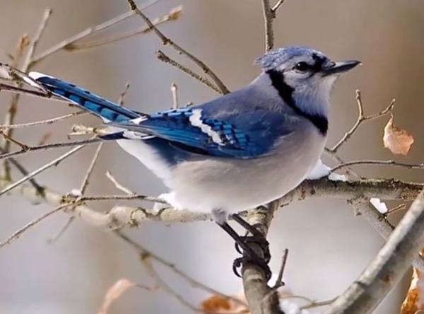Gaita albastra sta pe o ramura de copac