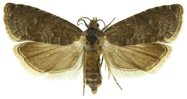 Grapholita funebra, fluturele, Foto: idtools.org