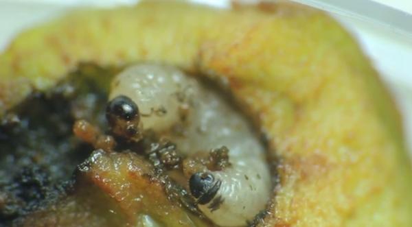 Larva de Hoplocampa brevis