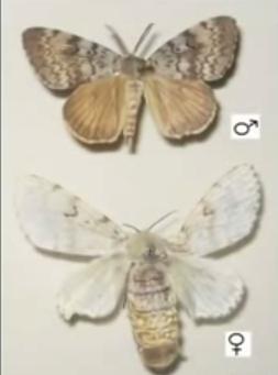 Omida păroasă a stejarului, Fluture mascul și femelă