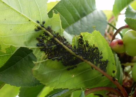 Păduchele negru al cireșului