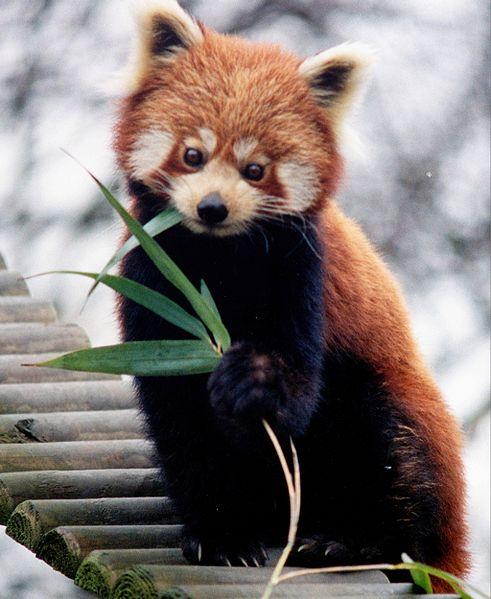 Panda rosu, Foto: wonderfulseaworld.blogspot.com.br