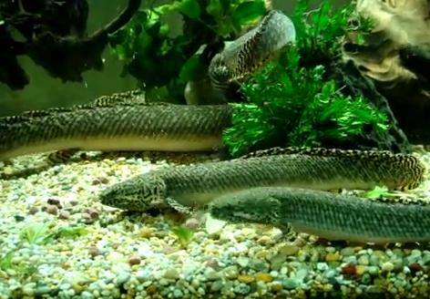 Peștele bichirul ornat - Polypterus ornatipinnus