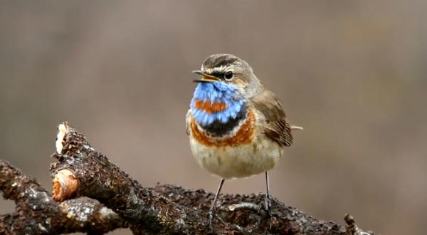 Privighetoarea albastra canta pe o ramura de copac