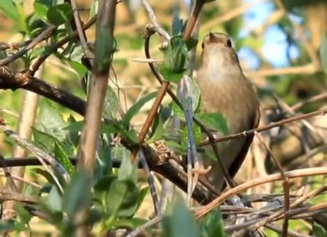 Privighetoarea-sturz canta in copac