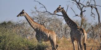 animale libere in safari