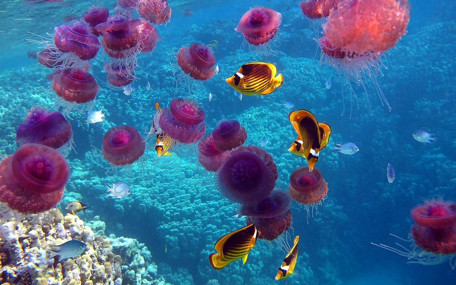 hd-jellyfish-wallpaper-with-pink-jellyfish-swimming-underwater-with-lots-of-tropical-fish-jellyfish-wallpapers-backgrounds-pictures-photos.jpg