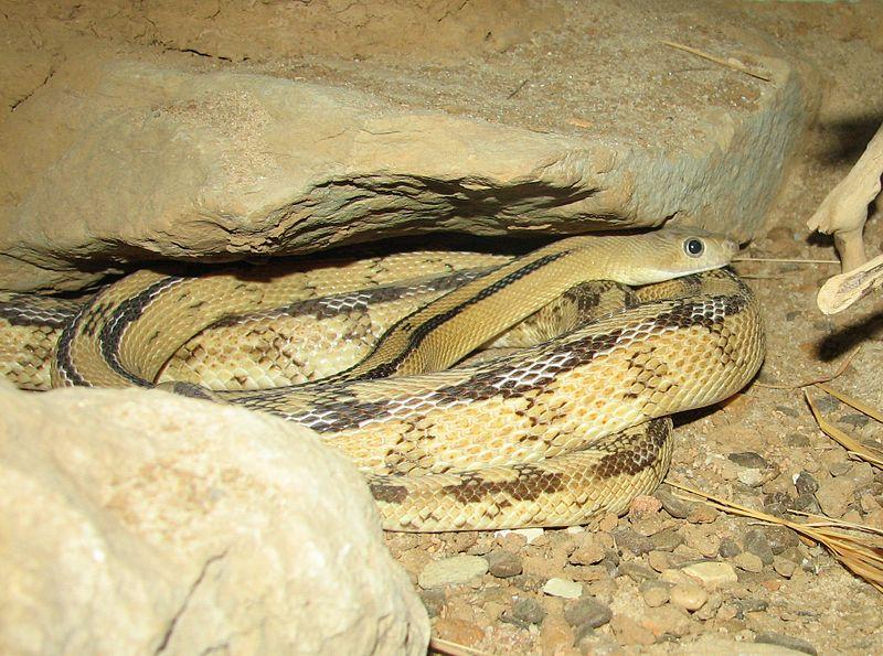 Șarpele-șobolan Trans-Pecos