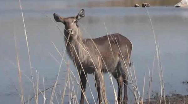 Antilopa de apă (Kobus ellipsiprymnus)
