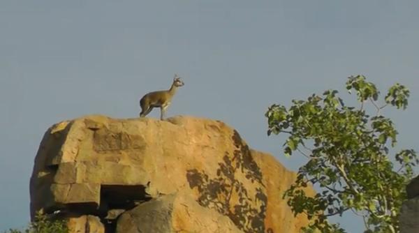Antilopa de munte (Oreotragus oreotragus)