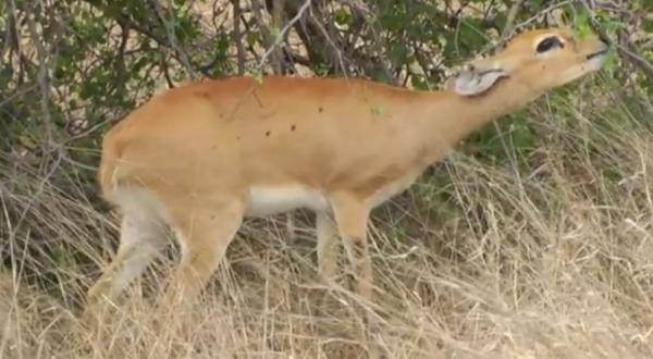 Antilopa mică de câmpie (Raphicerus campestris) din Africa