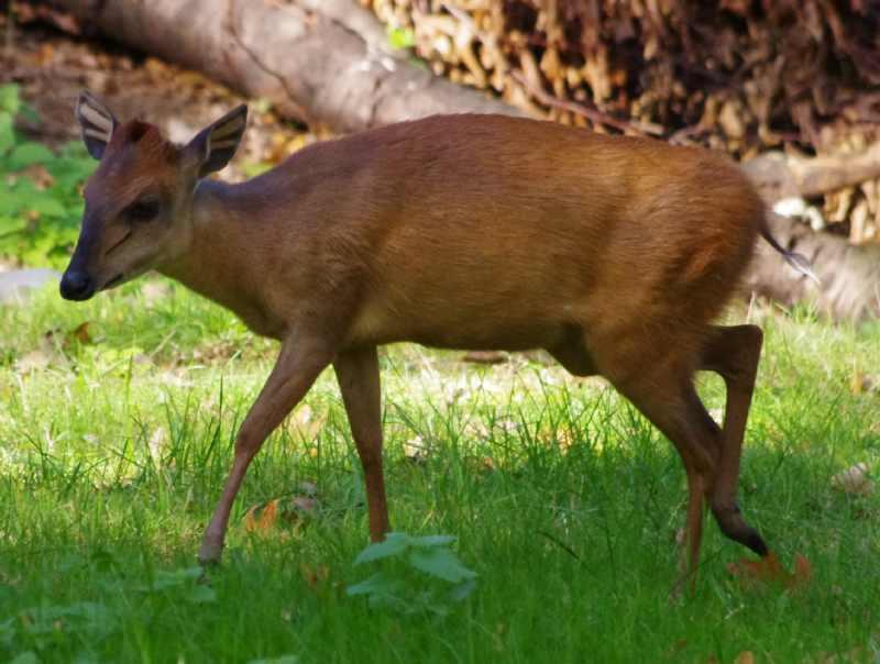Antilopa roșie de pădure