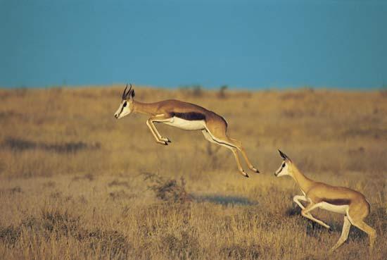 Antilopa săritoare, Foto: kids.britannica.com