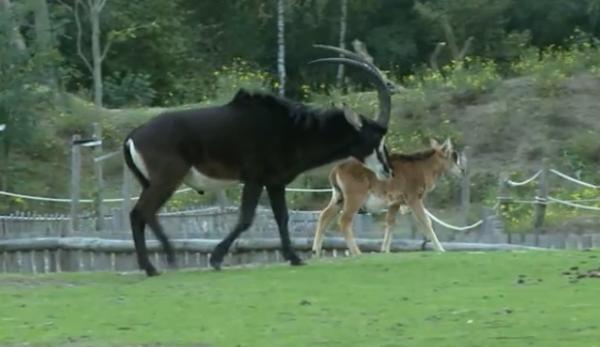 Antilopa-samur (Hippotragus niger)