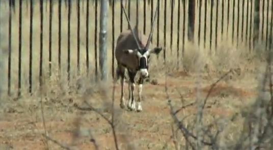 Beisa sud-africană (Oryx gazella)
