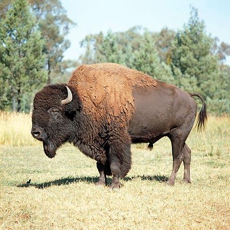 Bison american, specia Bison bison