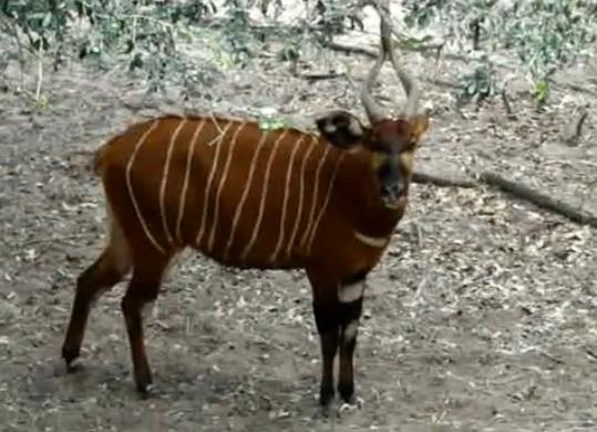 Bongo (Tragelaphus euryceros)