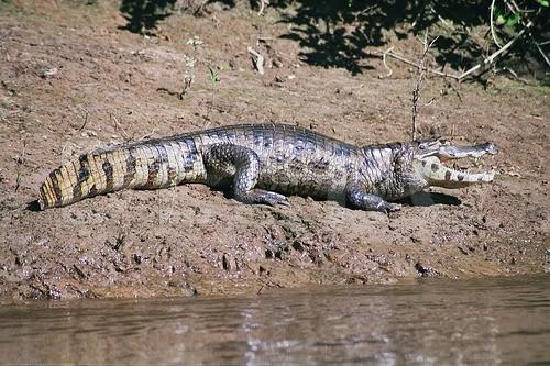 Specii de crocodili – Caimanul cu ochelari (Caiman crocodilus)