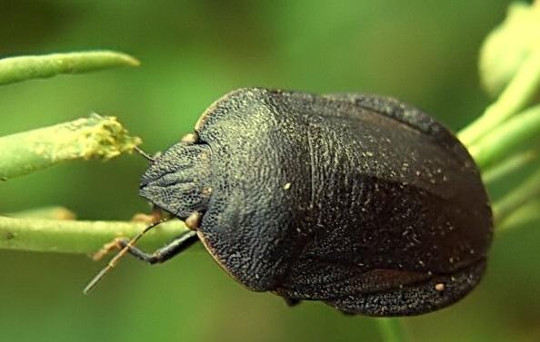 Eurygaster austriaca, Fotografie realizată de I. Martinez, Foto: koleopterologie.de