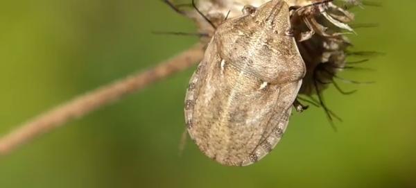 Ploșnița cerealelor, Eurygaster maura