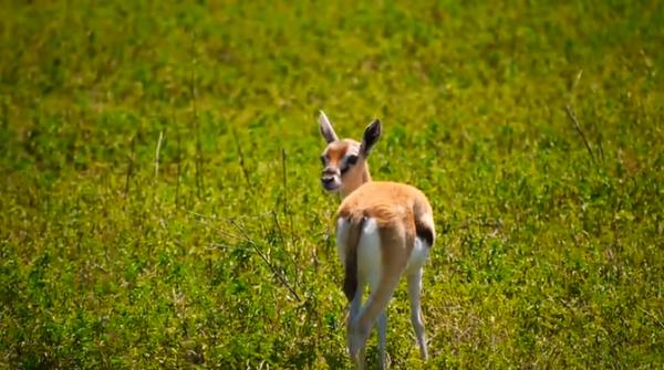 Gazela lui Thomson (Gazella thomsonii)