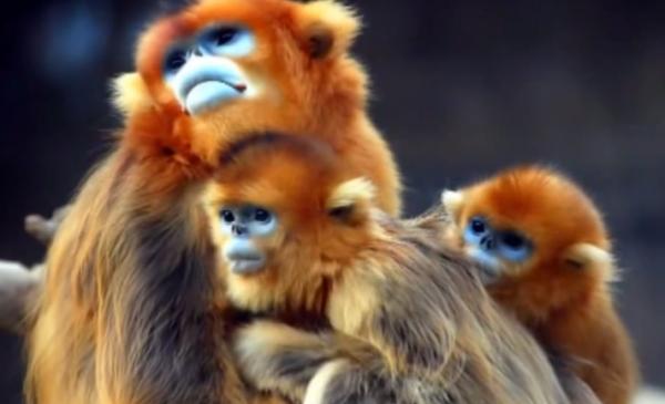 Maimuța cu nasul cârn