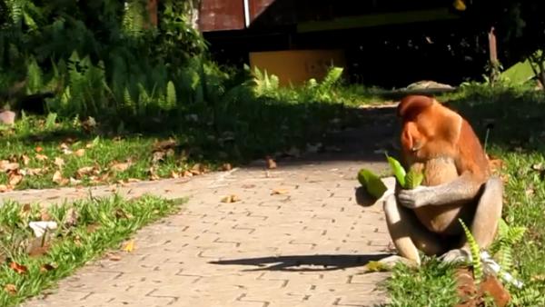 Maimuța cu trompă