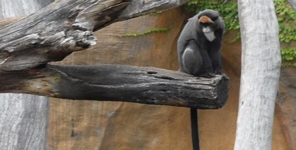 Maimuța lui De Brazza