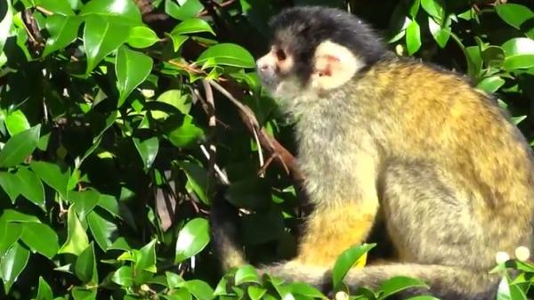 Maimuța-veverița boliviană