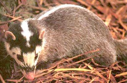 Melogale personata, Foto: elhogarnatural.com