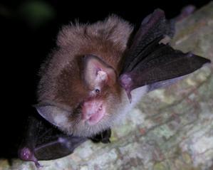 Natalus stramineus, Foto: faune-guadeloupe.com