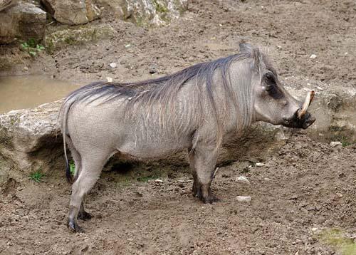 Porcul alergător, specia Phacochoerus africanu, Foto: technocredo.com