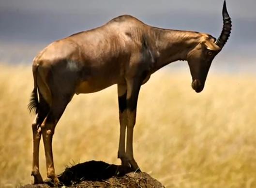 Specii de antilope – Sasabi (Damaliscus lunatus)
