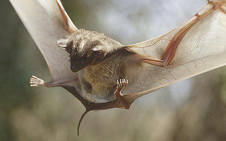 Liliacul maurițian, Foto: mamiferosdomundo.blogspot.ro