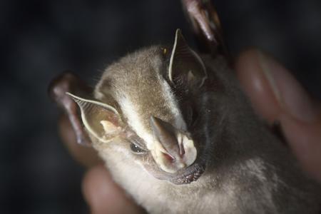 Liliacul Uroderma bilobatum - Uroderma bilobatum, Foto: mammalwatching.com