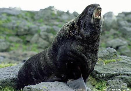 Ursul de mare - Callorhinus ursinus, Foto: marinebio.org