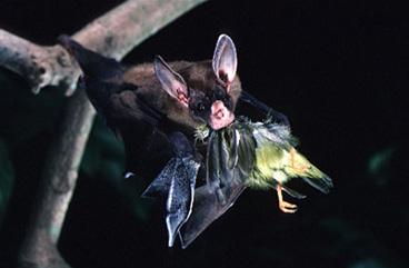 Falsul liliac vampir - Vampyrum spectrum, Foto: silverwing.wikia.com