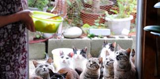 insula Tashimora plina de pisici