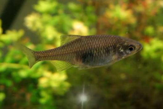 Boarca - Rhodeus amarus