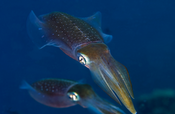 Calamari, Foto: freewallsource.com