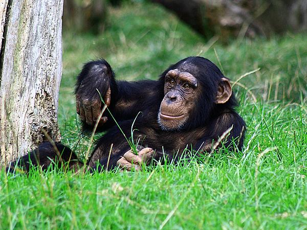Cimpanzeu, Foto: earendil079.blogspot.ro