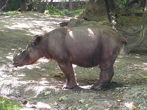 Rinocerul de Sumatra, specia Dicerorhinus sumatrensis, Foto: zooinstitutes.com