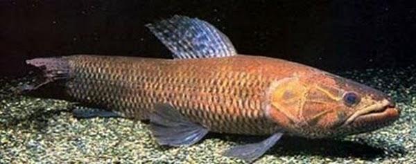 Hoplias macrophthalmus, Foto: pescariamadora.blogspot.ro